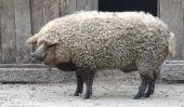 Mangalitsa, Le Cochon qui ressemble à un mouton