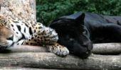 Espèces de chats sauvages - donc vous distinguer différents prédateurs