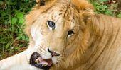 Qui est le plus: Tiger ou Lion?  - Pour le sortir