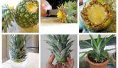 Comment faire pousser un pot Ananas