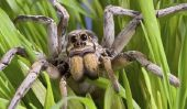 L'araignée-loup