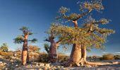 Île Kubu: Un Desert Island de Baobabs et des fossiles anciens