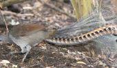 Le Lyrebird - informatif sur les espèces d'oiseaux
