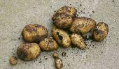 variété de pommes de terre Linda - informatif