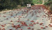 Migration annuel de crabe rouge de l'île Christmas