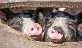 Quel âge est un porc domestique?