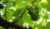Assurez raisins épais?  - Convient fruits et impropres à l'alimentation