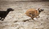 race de chien de l'Espagne - donc gardez un artgerecht Galgo