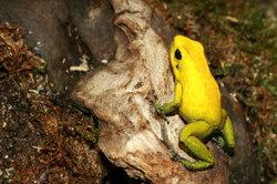 Poison dart frog - beaucoup plus que juste un eye-catcher