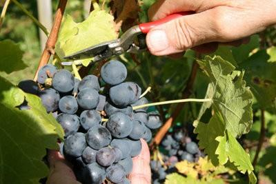 Restez à la cave - que vous prenez part à la récolte du raisin dans le Rheingau