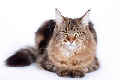 Obtenez chat dans un refuge - Menkun