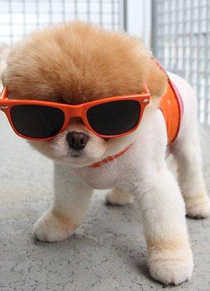 Chiens intelligents: 20 Photos de chiens adorables portant des lunettes