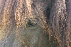 Acheter cheval Islande - vous devez savoir sur la race spéciale