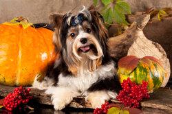 Biewer Yorkshire Terrier chiot - sachant à propos de l'attitude et de la manutention