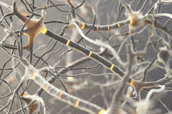 Neurone sensoriel - informatif