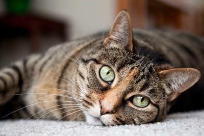 Cat a des puces - afin de nettoyer l'appartement