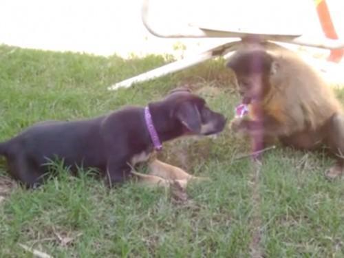 Regarder ce chiot Partager une sucette avec un singe