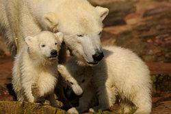 Les ours polaires sont gauchers - En savoir plus