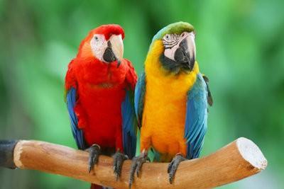 Gardez perroquet à la maison - Ara
