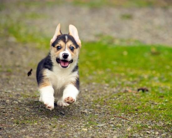 24 raisons pour lesquelles Corgis sont les chiots mignons