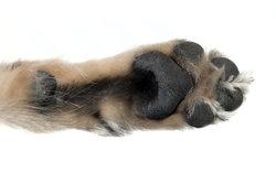 Hundepfote enflammée - Avis