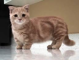 Top 10 Cutest Races de chat dans le monde en 2014-15