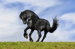 Stallion achat - ce qui devrait garder à l'esprit avant d'acheter