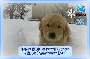"""Les chiots Golden Retriever + neige = Biggest """"Aawwwww"""" jamais"""