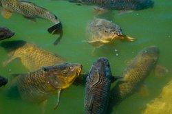 Qu'est-ce que manger la carpe?  - Comment prendre soin de vos poissons
