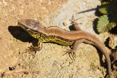 Lézards - connaître les reptiles