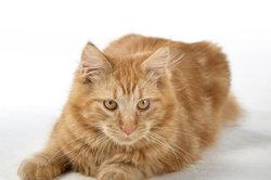 Verrues chez les chats - options de traitement