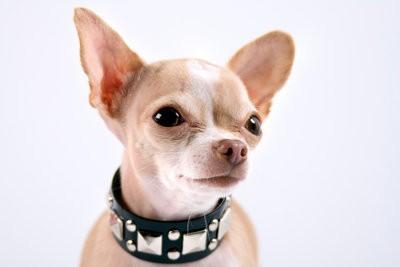 Montant exact de l'alimentation pour un Chihuahua - qui mange le chiot