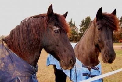 Les chevaux blancs frisonnes - En savoir plus sur ces quelques exceptions près
