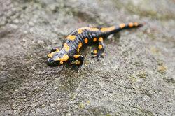 Salamandre de feu - Caractéristiques