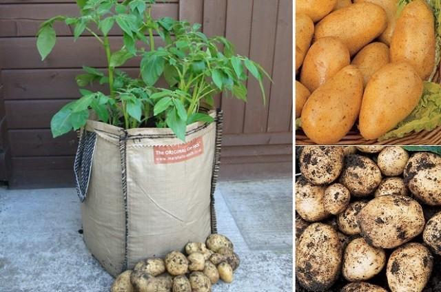Comment faire pousser des pommes de terre En planteuse Sacs / BeeVar ...
