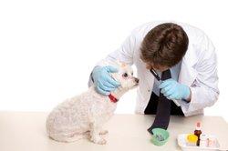 La castration chez les chiens - des avantages et des inconvénients chez les mâles