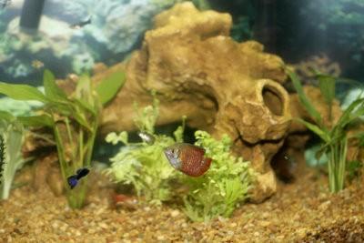 Gardez poissons appropriée - guppys dans l'aquarium