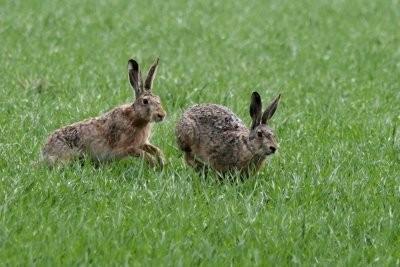 Espèces Hare - ils diffèrent lapin, les rongeurs et les lapins
