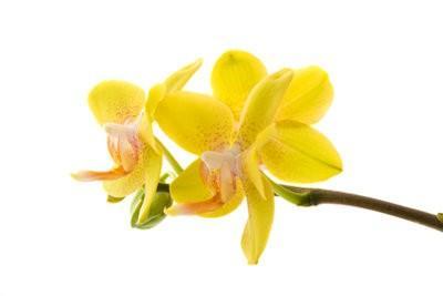 Multipliez orchidées - comment cela fonctionne: