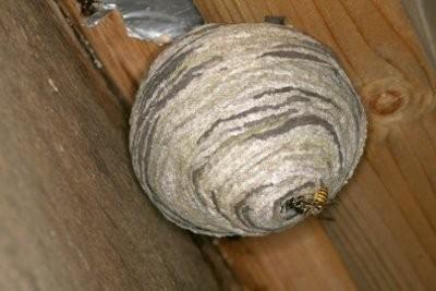 Wasps sous une tuile - Que faire?