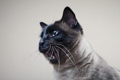 Ce qui aide contre la perte de cheveux chez les chats?
