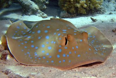 Rays - tout sur la Knorpelfischart