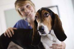 Cancer du système lymphatique chez les chiens - sachant