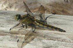 Insectes - morphologie des espèces clairement expliqués