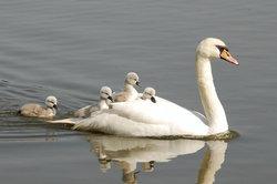 Le cygne - la saison de reproduction et d'élevage