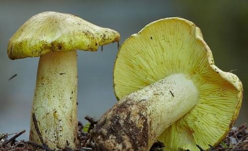 Top 10 des champignons les plus dangereux au monde