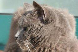 AVC chez les chats - reconnaître les signes et les aider rapidement