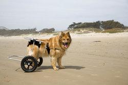 Maladie auto-immune chez les chiens - En savoir plus