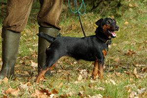 Chasse allemande Terrier - élever des chiots correctement