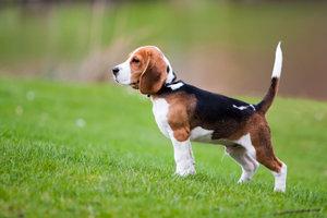 Loisirs des Beagles - donc il vont travailler avec l'attitude
